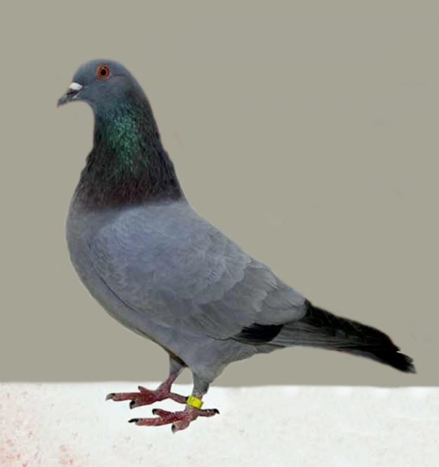 Rock Pigeon (photo: wikimedia)
