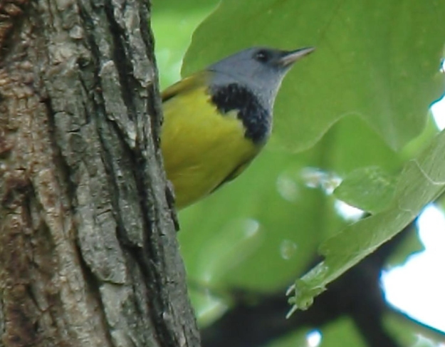 Mourning Warbler (photo: wikimedia)