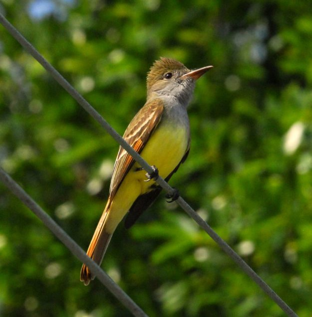 Great Crested Flycatcher (photo: wikimedia)