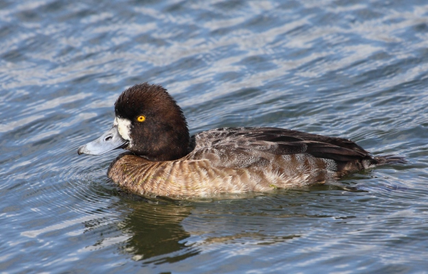 Greater Scaup (female) photo: wikimedia