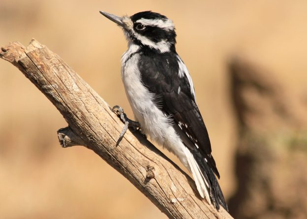Hairy Woodpecker (female) photo: wikimedia