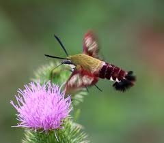 Clear Wing Hummingbird Moth (photo: flickr)