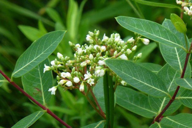 Indian Hemp (Apocynum cannabinum)