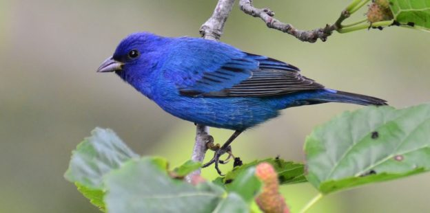 Indigo Bunting (male) photo: wikimedia