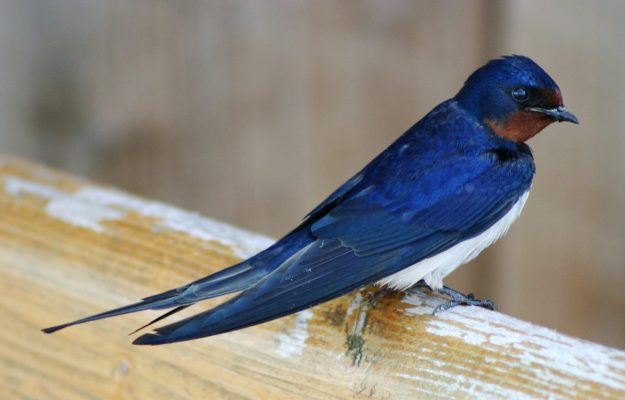 Barn Swallow (photo: wikimedia)