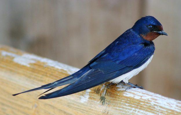 Barn Swallow (photo: wikimedia)