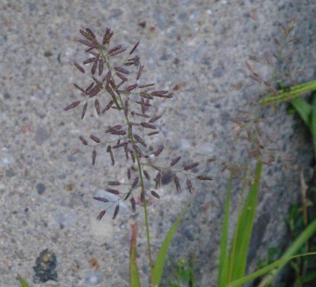 Tufted Lovegrass (Eragrostis pectinacea)