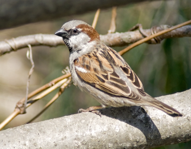 House Sparrow (male) photo: wikimedia