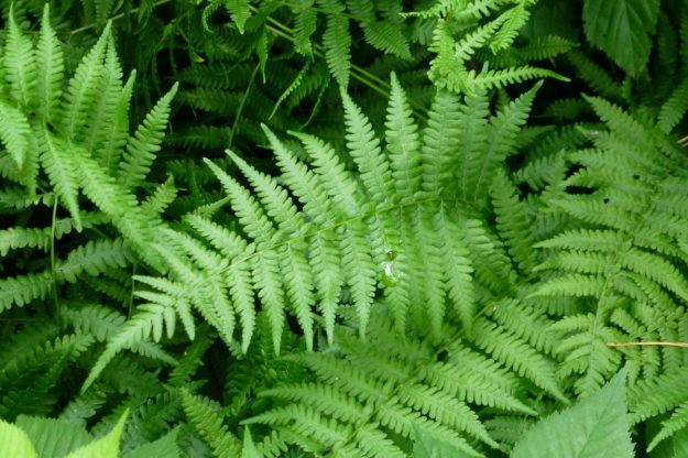 Massachusetts Fern
