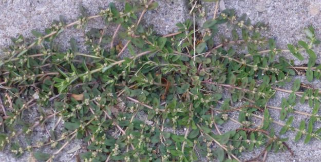Spotted Spurge (Milk Purslane) Euphorbia maculata