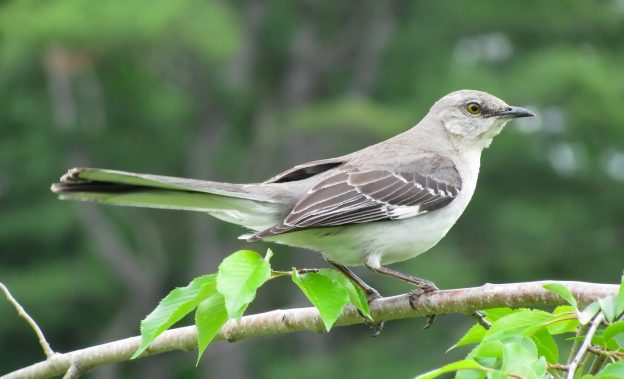 Northern Mockingbird (photo: wikipedia)