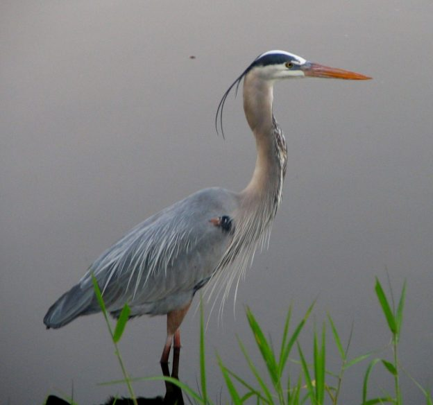 Great Blue Heron (photo: wikimedia)
