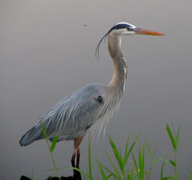 Great Blue Heron (photo: wikimedia)
