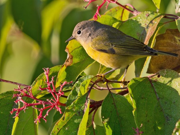 Nashville Warbler (photo: wikimedia)