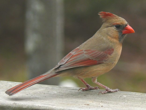 Northern Cardinal (female) photo: wikipedia