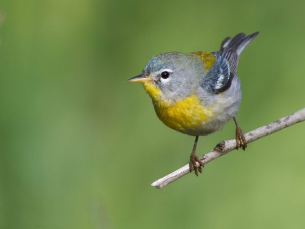 Northern Parula Warbler (photo: wikipedia)
