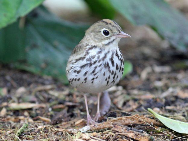 Ovenbird (photo: wikimedia)