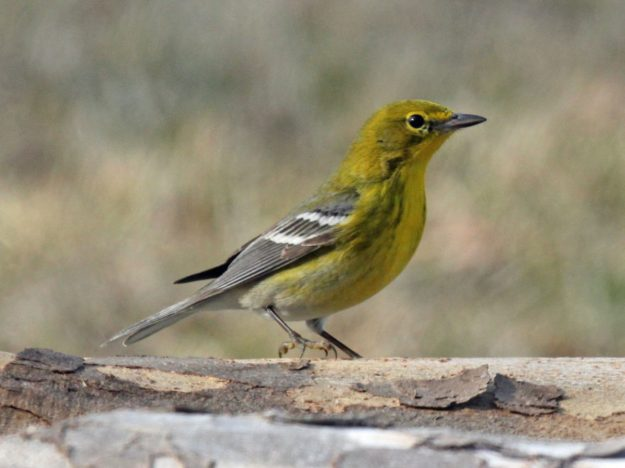 Pine Warbler (photo: wikimedia)