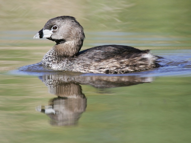 Pied-billed Grebe (photo: wikipedia)