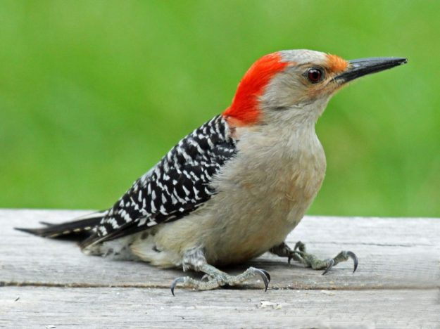 Red-bellied Woodpecker (female) photo: wikimedia