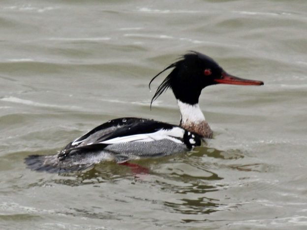 Red-breasted Merganser (male) photo: wikimedia