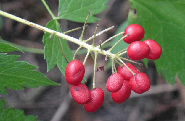 Red Baneberry (Actaea rubra)