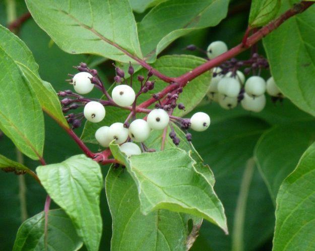Red Osier Dogwood (Cornus servicea)