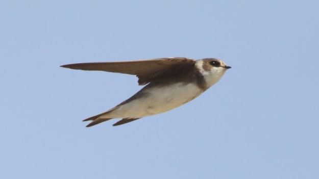 Bank Swallow (photo: wikimedia)