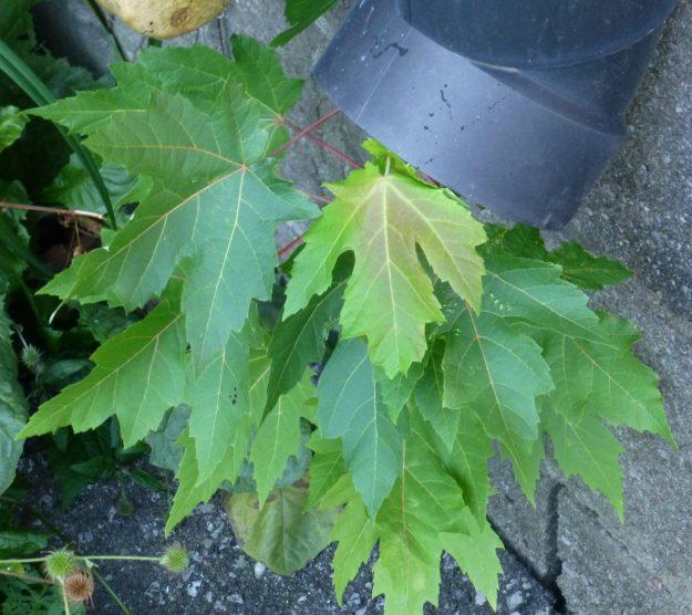 Silver Maple (Acer saccharinum)