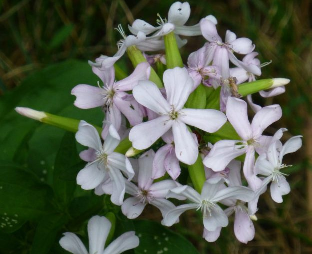 Soapwort (Saponaria officinalis)