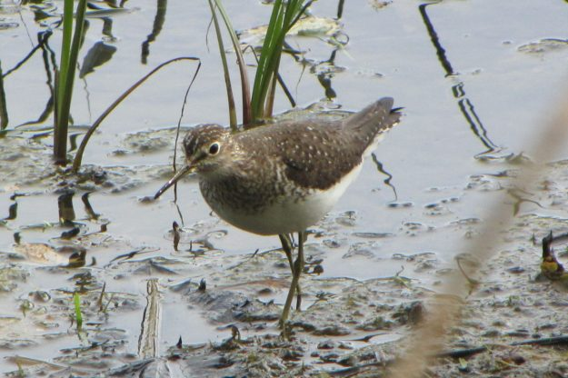 Solitary Sandpiper (photo: wikimedia)