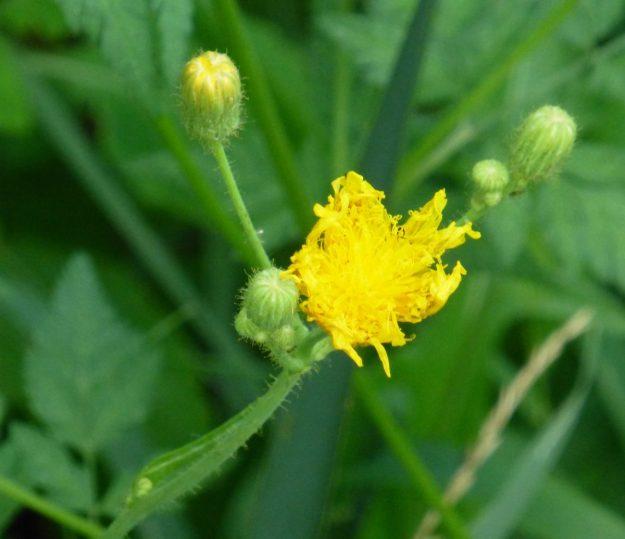 Field Sow Thistle (Sonchus arvenis)