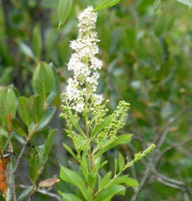 Meadowsweet (Spirea alba)