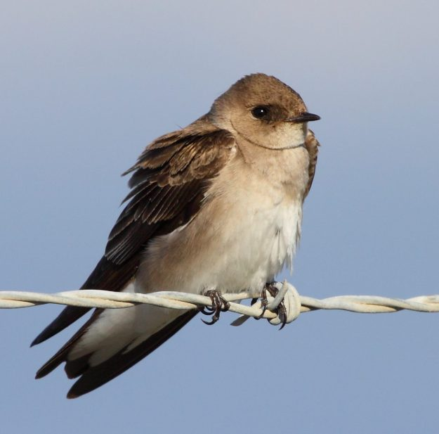 Rough-winged Swallow (photo: wikipedia)