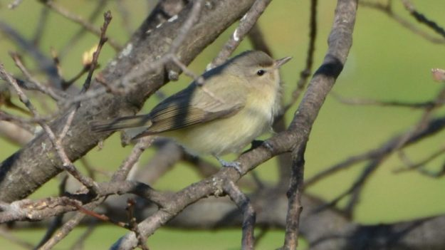 Warbling Vireo (photo: wikimedia)
