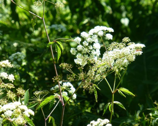 Water Hemlock (Cicuta bulbifera)