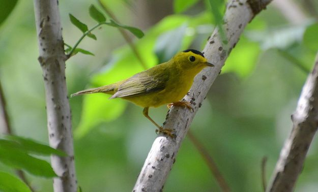 Wilson's Warbler (photo: wikimedia)