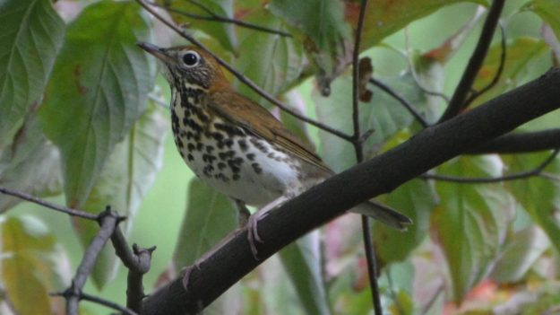 Wood Thrush (photo: wikimedia)