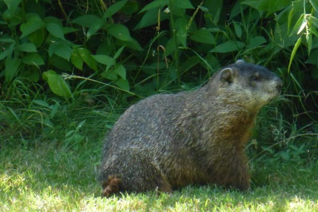 Woodchuck (Ground Hog)