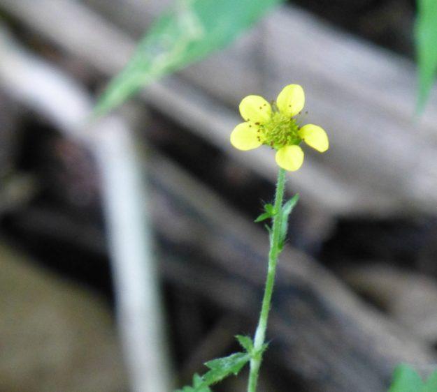 Yellow Avens (Geum aleppicum)