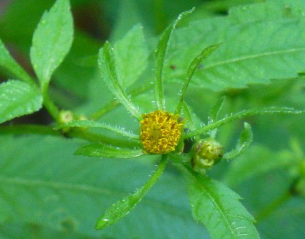 Beggr Ticks (Bidens frondosa)