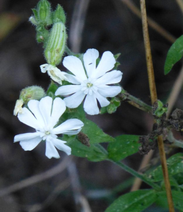 White Campion ((Silene latifolia)