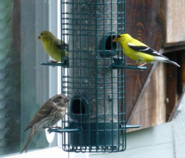 Goldfinches and Purple Finch