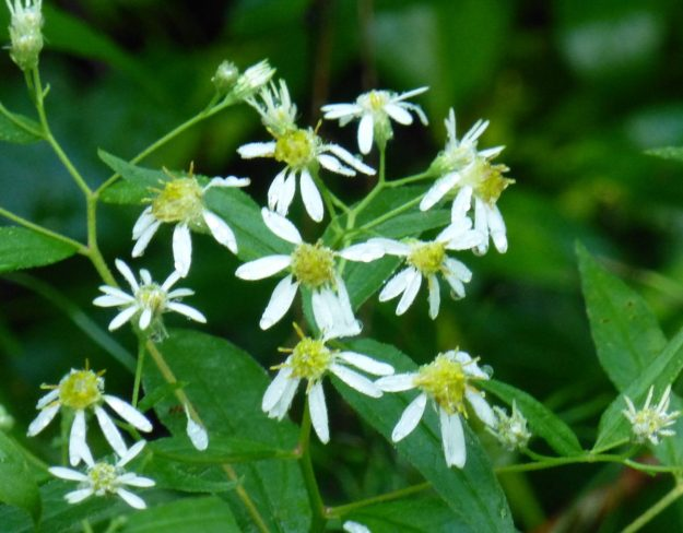 Flat-topped Aster (Doellingeria umbellata)