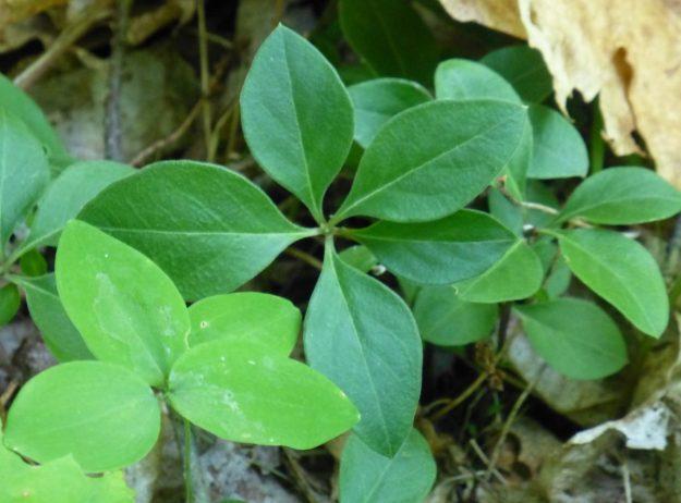 Fringed Polygala (Polygala paucifolia)