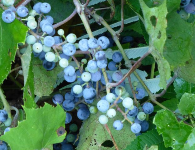 Riverbank Grape (Vitis riparia)
