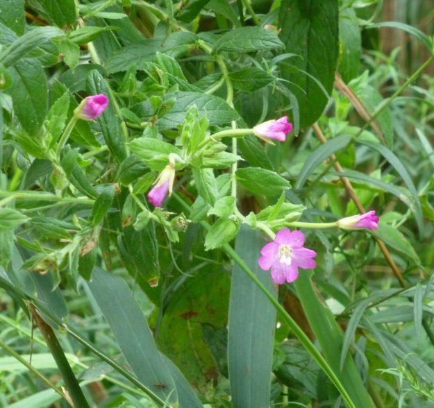 Great Hairy Willow Herb (Epilobium hirsutum)