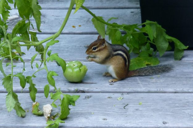 Chipmunk with tomato