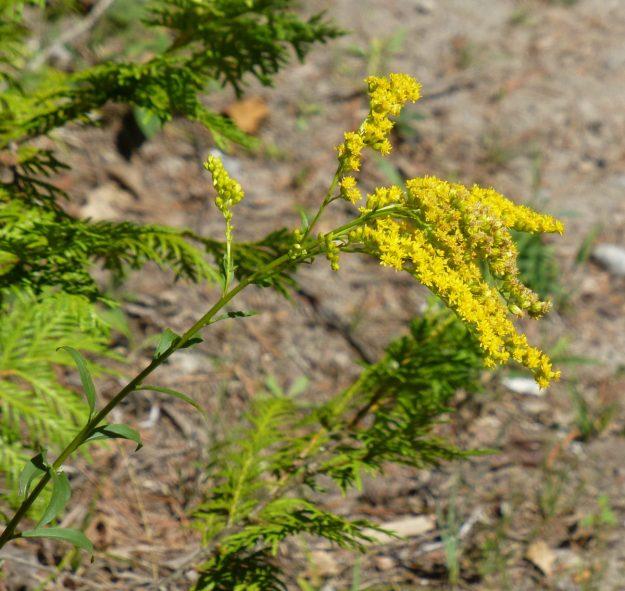 Sweet Goldenrod (Solidago odorata)