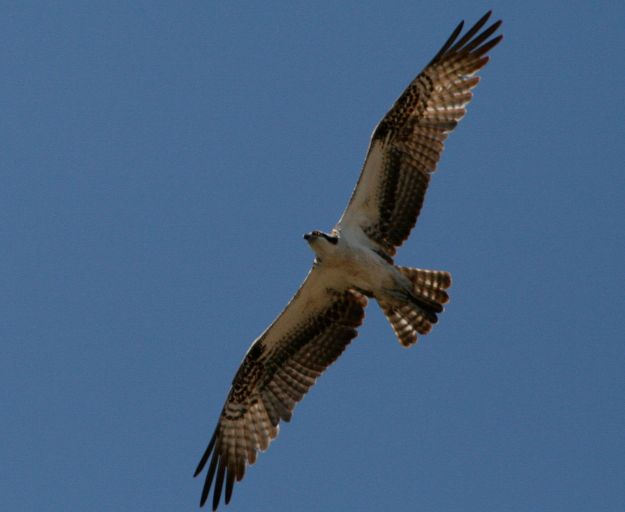 Osprey (photo: wikimedia)